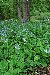 Virginia Bluebells (Mertensia virginica) at Patuxent Nursery