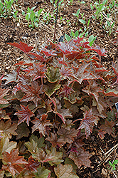 Palace Purple Coral Bells (Heuchera micrantha 'Palace Purple') at Patuxent Nursery