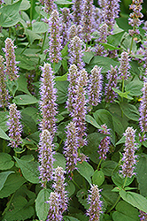 Blue Fortune Anise Hyssop (Agastache 'Blue Fortune') at Patuxent Nursery