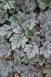 Frosted Violet Coral Bells (Heuchera 'Frosted Violet') at Patuxent Nursery