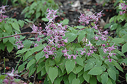 Lilafee Bishop's Hat (Epimedium grandiflorum 'Lilafee') at Patuxent Nursery