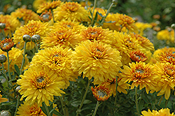 Goldstrike Chrysanthemum (Chrysanthemum 'Goldstrike') at Patuxent Nursery