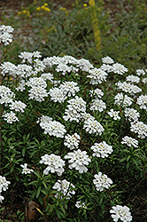 Purity Candytuft (Iberis sempervirens 'Purity') at Patuxent Nursery