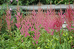 Visions in Pink Chinese Astilbe (Astilbe chinensis 'Visions in Pink') at Patuxent Nursery