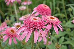 Cone-fections™ Pink Double Delight Coneflower (Echinacea purpurea 'Pink Double Delight') at Patuxent Nursery