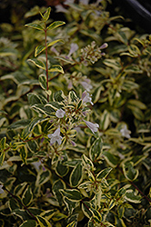 Twist of Lime™ Glossy Abelia (Abelia x grandiflora 'Hopley's') at Patuxent Nursery