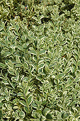 Variegated Boxwood (Buxus sempervirens 'Elegantissima') at Patuxent Nursery