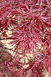 Red Dragon Japanese Maple (Acer palmatum 'Red Dragon') at Patuxent Nursery
