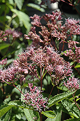 Phantom Joe Pye Weed (Eupatorium maculatum 'Phantom') at Patuxent Nursery