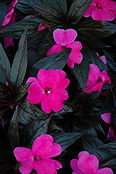 Petticoat Pink Night New Guinea Impatiens (Impatiens 'Petticoat Pink Night') at Patuxent Nursery