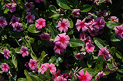 Cora® Strawberry Vinca (Catharanthus roseus 'Cora Strawberry') at Patuxent Nursery