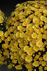 Jacqueline Yellow Chrysanthemum (Chrysanthemum 'Jacqueline Yellow') at Patuxent Nursery
