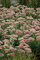 Autumn Joy Stonecrop (Sedum 'Autumn Joy') at Patuxent Nursery