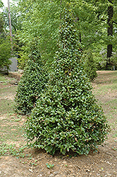 Castle Spire® Meserve Holly (Ilex x meserveae 'Hachfee') at Patuxent Nursery