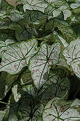 Candidum Jr. Caladium (Caladium 'Candidum Jr.') at Patuxent Nursery