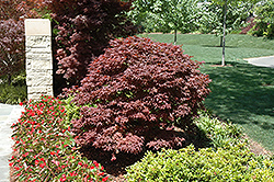 Rhode Island Red Japanese Maple (Acer palmatum 'Rhode Island Red') at Patuxent Nursery