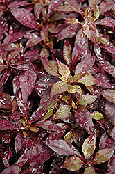 Ruby Red Alternanthera (Alternanthera dentata 'Ruby Red') at Patuxent Nursery