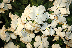 Cora® White Vinca (Catharanthus roseus 'Cora White') at Patuxent Nursery