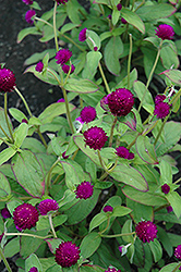 Audray Purple Red Gomphrena (Gomphrena 'Audray Purple Red') at Patuxent Nursery