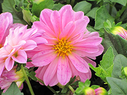 Dahlietta® Lisa Pink Dahlia (Dahlia 'Dahlietta Lisa Pink') at Patuxent Nursery