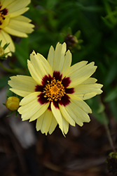 UpTick™ Cream and Red Tickseed (Coreopsis 'Balupteamed') at Patuxent Nursery