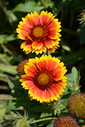 Arizona Sun Blanket Flower (Gaillardia x grandiflora 'Arizona Sun') at Patuxent Nursery
