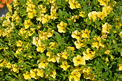 MiniFamous® Neo Deep Yellow Calibrachoa (Calibrachoa 'MiniFamous Neo Deep Yellow') at Patuxent Nursery