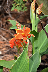 Cannova® Red Flame Canna (Canna 'Cannova Red Flame') at Patuxent Nursery