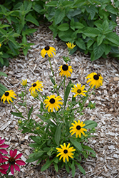 American Gold Rush Coneflower (Rudbeckia 'American Gold Rush') at Patuxent Nursery