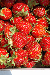 Tristar Strawberry (Fragaria 'Tristar') at Patuxent Nursery