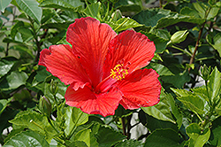 Red Hibiscus (Hibiscus rosa-sinensis 'Red') at Patuxent Nursery