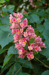 Ruby Red Horse Chestnut (Aesculus x carnea 'Briotti') at Patuxent Nursery