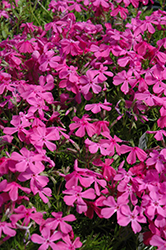 Drummond's Pink Moss Phlox (Phlox subulata 'Drummond's Pink') at Patuxent Nursery
