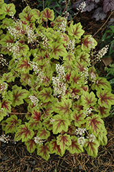 Stoplight Foamy Bells (Heucherella 'Stoplight') at Patuxent Nursery