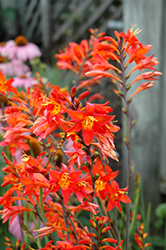 Prince Of Orange Crocosmia (Crocosmia 'Prince Of Orange') at Patuxent Nursery