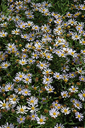 Blue Star Japanese Aster (Kalimeris incisa 'Blue Star') at Patuxent Nursery