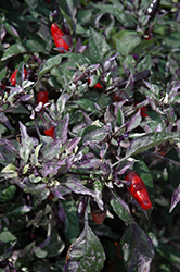 Calico Ornamental Pepper (Capsicum annuum 'Calico') at Patuxent Nursery