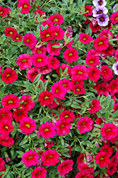 MiniFamous® Neo Cherry Red Calibrachoa (Calibrachoa 'MiniFamous Neo Cherry Red') at Patuxent Nursery