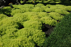Lemon Ball Stonecrop (Sedum rupestre 'Lemon Ball') at Patuxent Nursery