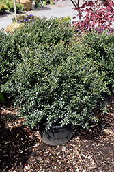 Green Lustre Japanese Holly (Ilex crenata 'Green Lustre') at Patuxent Nursery
