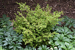 Golden Dream Boxwood (Buxus microphylla 'Peergold') at Patuxent Nursery