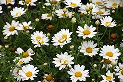 Pure White Butterfly™ Marguerite Daisy (Argyranthemum frutescens 'G14420') at Patuxent Nursery