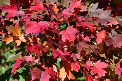 Redpointe Red Maple (Acer rubrum 'Redpointe') at Patuxent Nursery