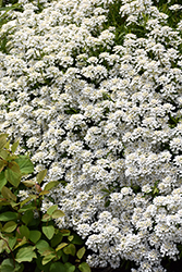 Candytuft (Iberis sempervirens) at Patuxent Nursery