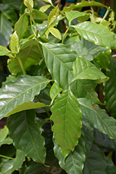 Arabian Coffee (Coffea arabica) at Patuxent Nursery