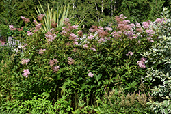 Venusta Queen Of The Prairie (Filipendula rubra 'Venusta') at Patuxent Nursery