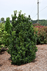 Castle Wall® Meserve Holly (Ilex x meserveae 'Heckenstar') at Patuxent Nursery