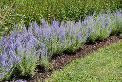 Lacey Blue Russian Sage (Perovskia atriplicifolia 'Lacey Blue') at Patuxent Nursery