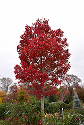 October Glory Red Maple (Acer rubrum 'October Glory') at Patuxent Nursery