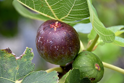 Brown Turkey Fig (Ficus carica 'Brown Turkey') at Patuxent Nursery